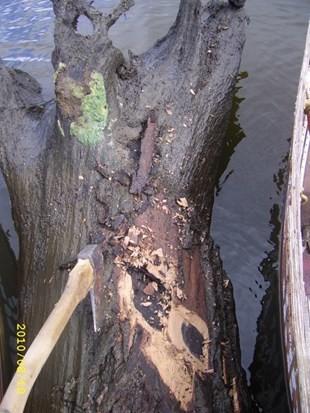 Морёный дуб, Bog Oak через 10 лет